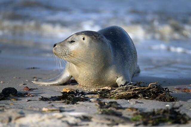 Ein kleiner Seehund liegt in der Sonne am Strand. Auch Seehunde wollen Büsum erleben.